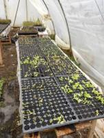 plants de laitues et de choux