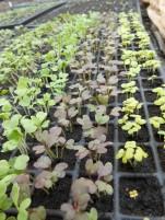 verdurettes asiatiques en multicellules