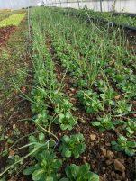 Cette association fonctionne bien, même si c'est un peu sale sur le rang. La màche couvre le sol au pied des oignons. Entre ces bandes, un semis de carotte a échoué. J'y planterai des laitues qui remplaceront la mâche comme couvre-sol.