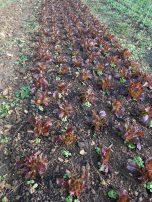 L'idée est d'occuper le sol au maximum. On installe une nouvelle culture avant que la précédente soit achevée.