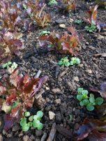Après une deuxième coupe des laitues pour les verdurettes, j'ai enlevé la bâche puis planté de la mâche sur le rang. Un semis entre les rangs viendra compléter la planche.