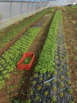 récolte en cours de claytone aussi appelée pourpier d'hiver