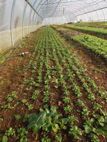entre les rangs de mâche bien développée, un semis de radis