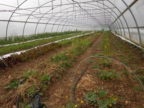 Les courgettes se sont trouvées étouffées au milieu des cultures précédentes et n'ont pas profité de la précocité de la plantation.