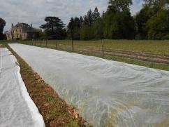 Pour protéger l'ail de la teigne et de la mouche mineuse des liliacées, un filet anti-insectes est installé.